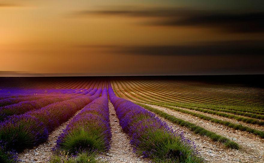 lavender-fields-harvesting-71