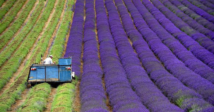 lavender-fields-harvesting-fb1__700